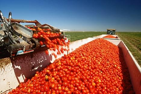 tomato harvest in california