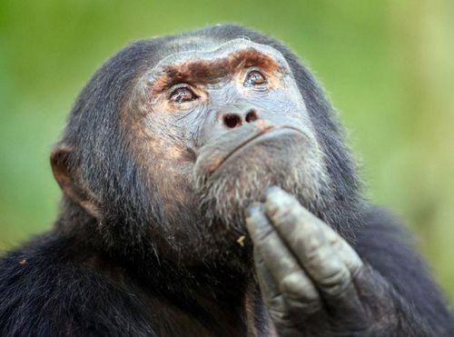singe qui réfléchit