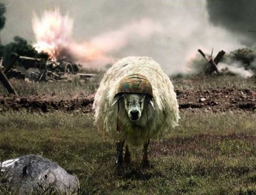 moutons enrages