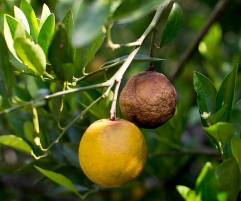 citrus floride