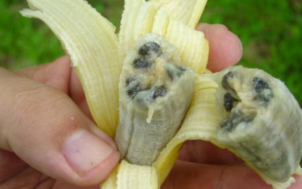maladie banane