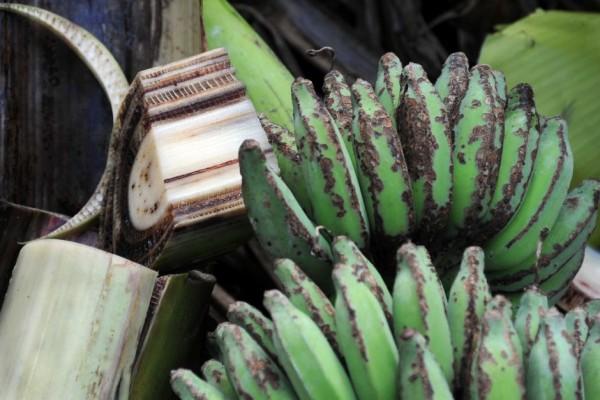 panama maladie banane