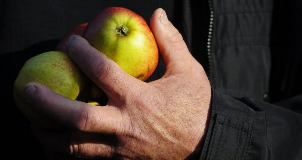 Les pommes. Image d`illustration